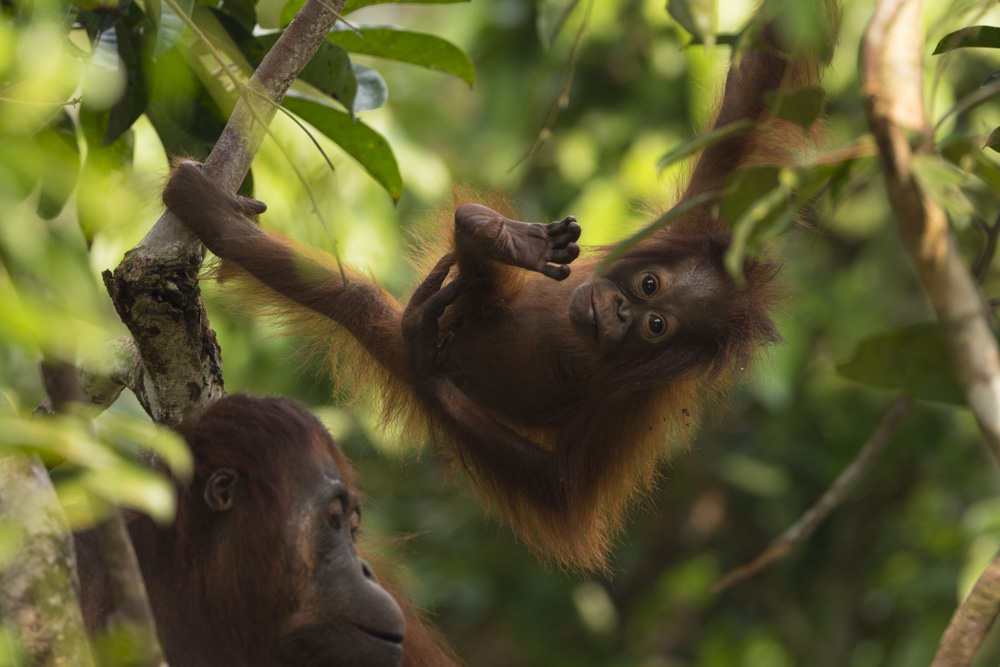 Borneo orangutan photography tour