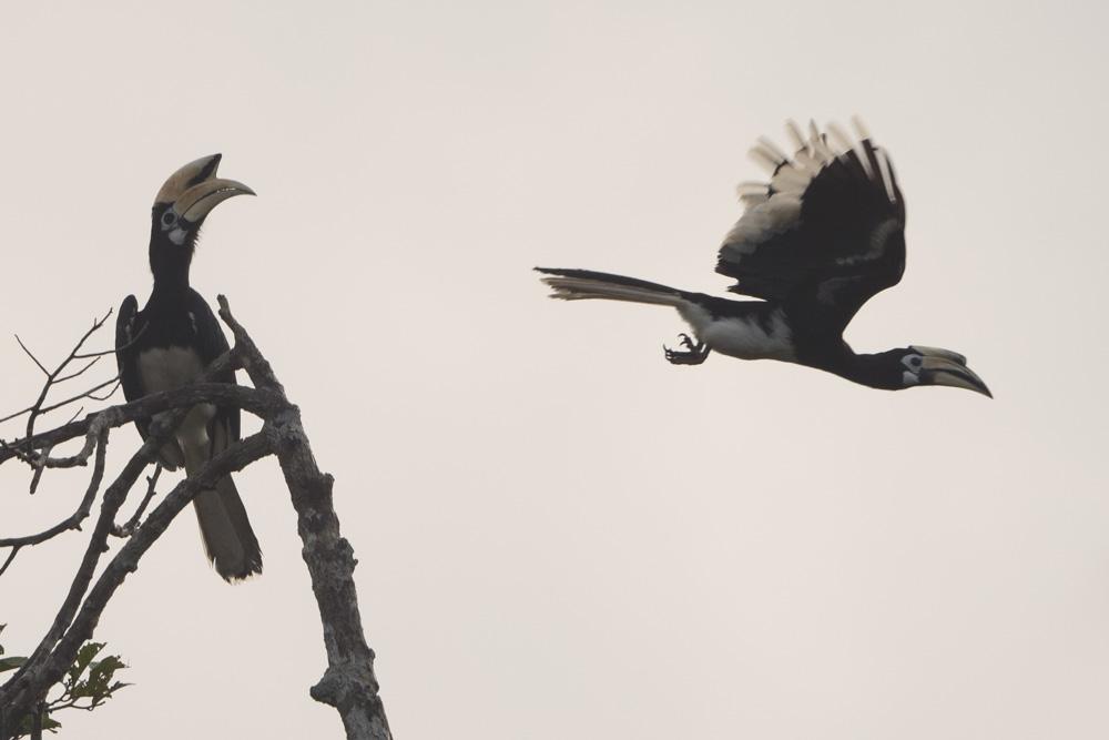 Hornbills Tanjung Puting