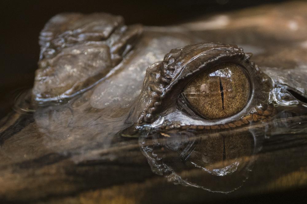 Crocodile eye Borneo