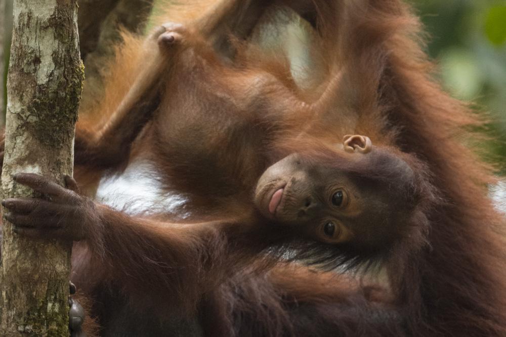 Borneo orangutan photography tour