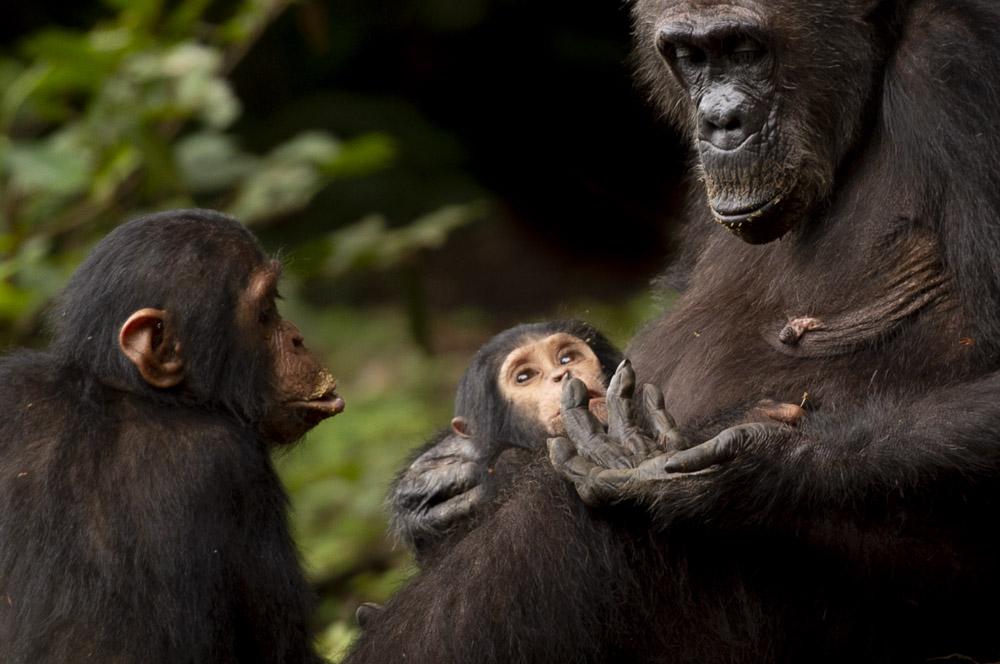 Tanzania photography tour chimpanzee
