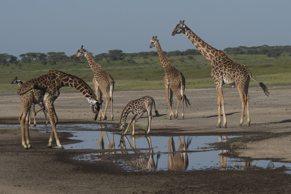 Tanzania photography tour giraffe