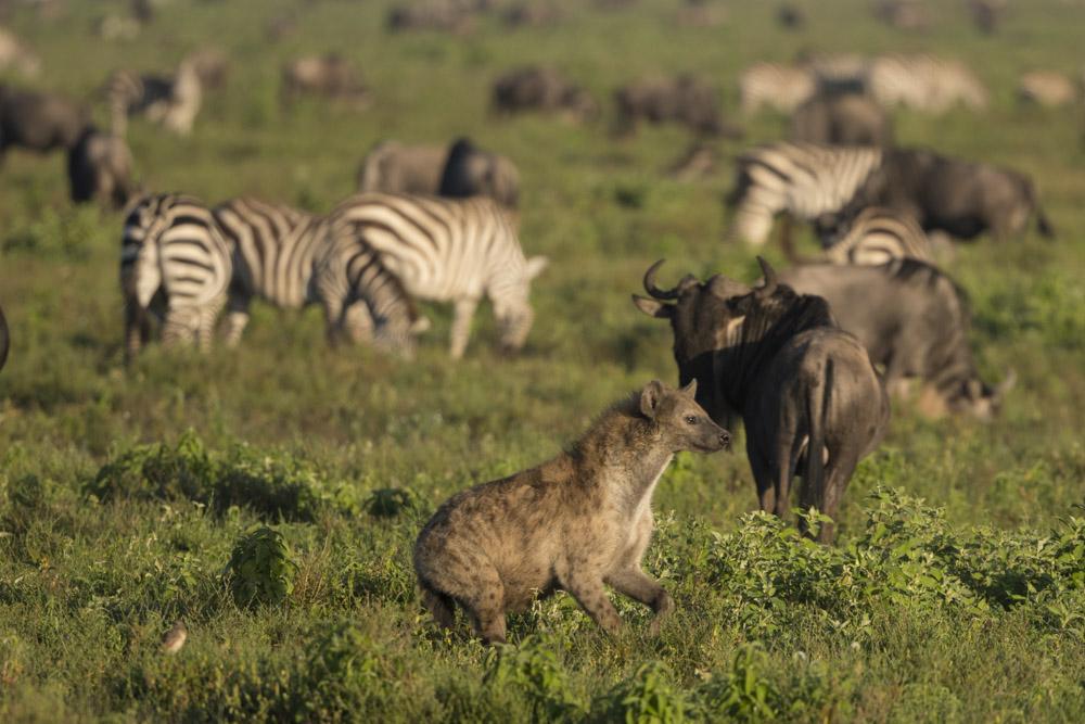 Tanzania photogarphy tour hyena