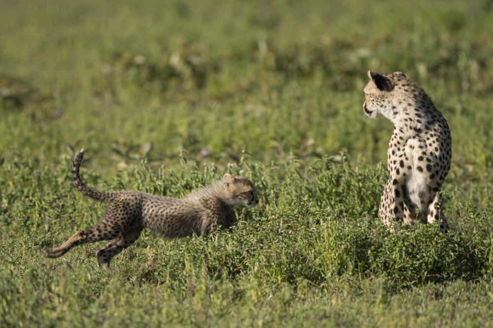 Tanzania photography tour cheetahs