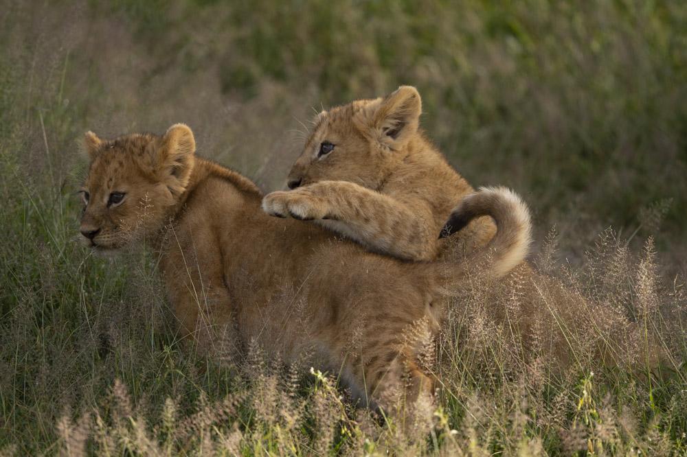 Tanzania photography tour lion cubs