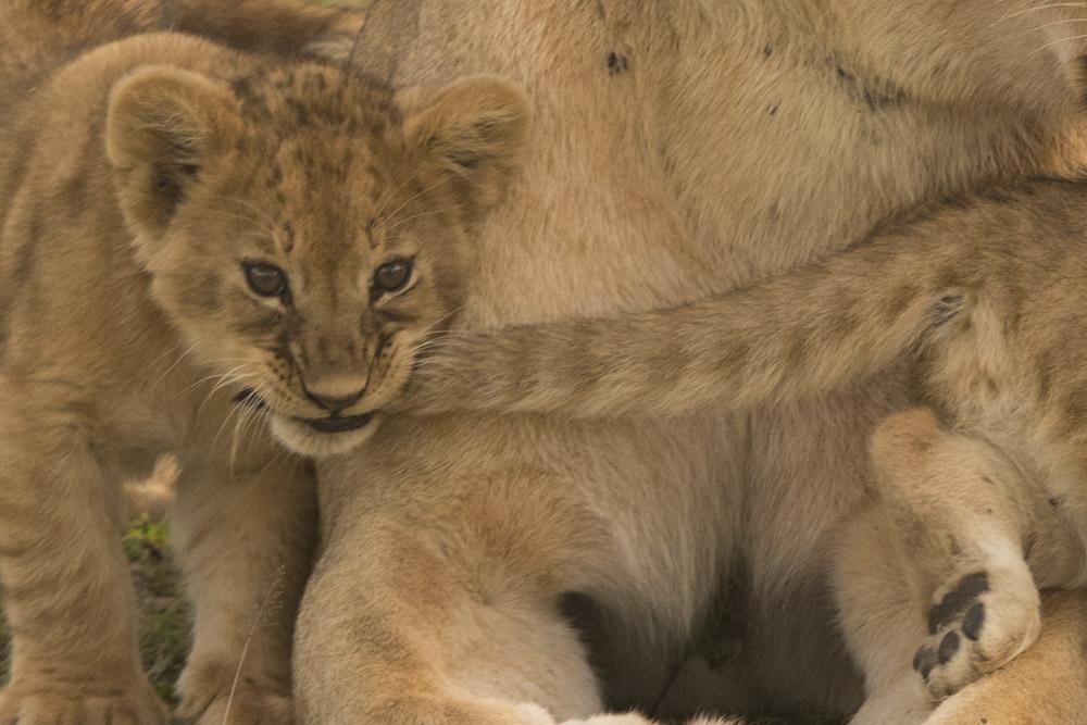 Tanzania lion cubs photography