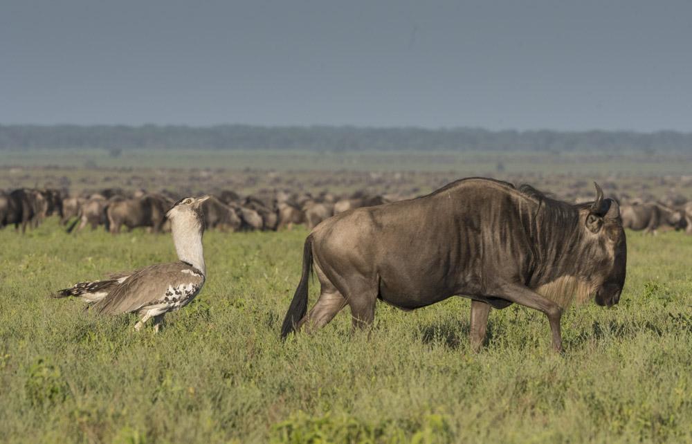 Tanzania photogarphy tour wildebeest