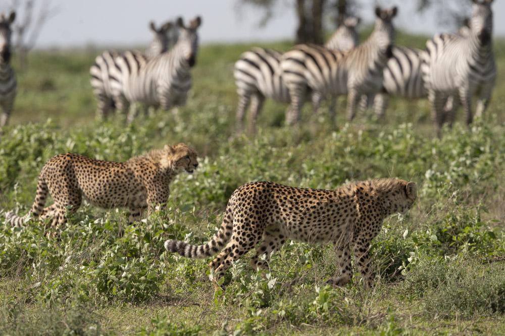 Tanzania photogarphy tour cheetahs