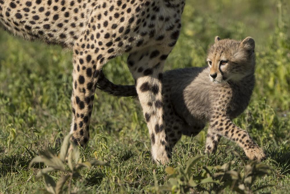 Tanzania photography tour cheetah cub