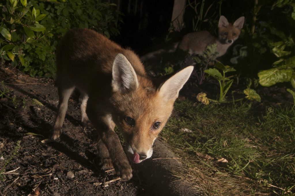 Sussex fox photography