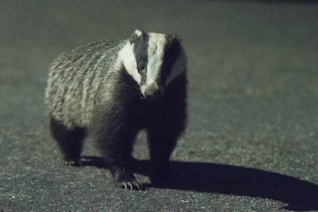 Sussex badger photography