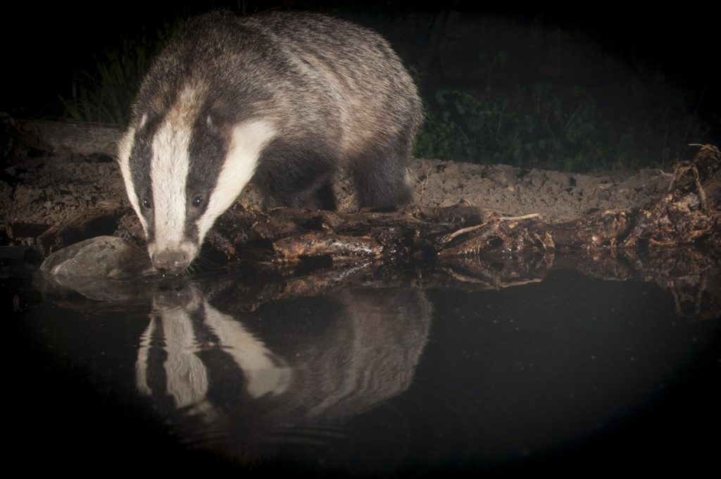 Badger photography Sussex