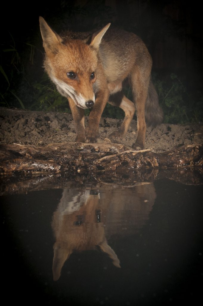 Fox photography Sussex