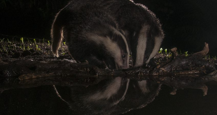 badger photography Sussex cub