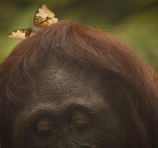 orangutan with butterfly