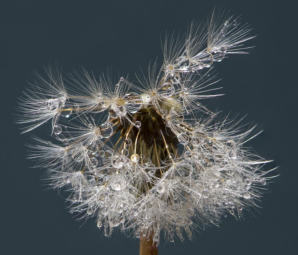 Dandelion water drop photography