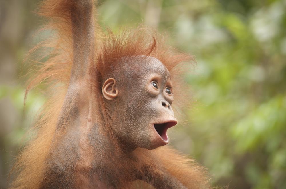 baby orangutan fine art print