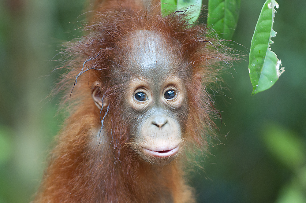 orangutan baby print