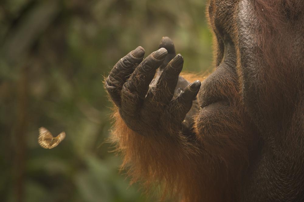 orangutan butterfly