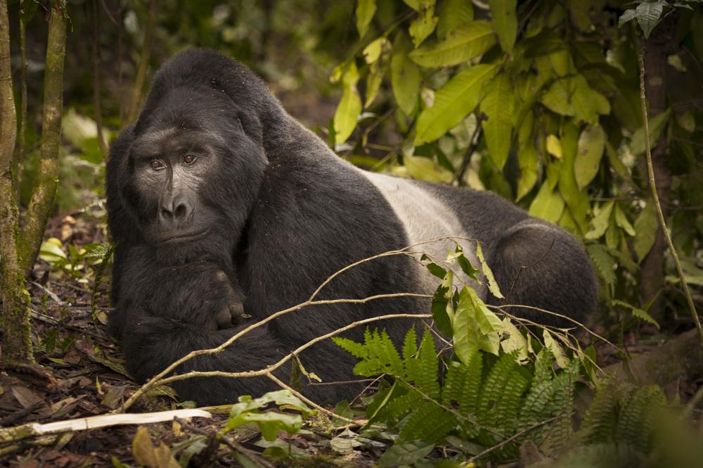 Gorilla art silverback