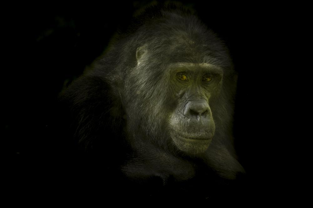 Mountain gorilla fine art print