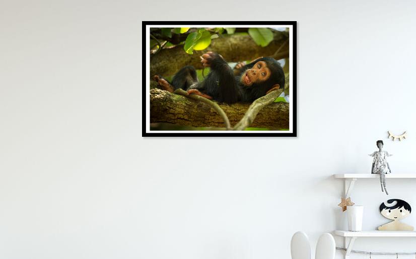 baby chimpanzee artwork print