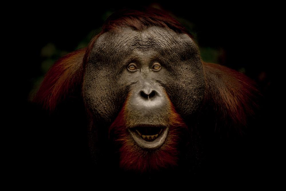 Orangutan fine art print