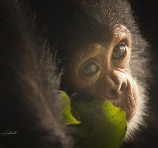 Jane Goodall chimpanzee print