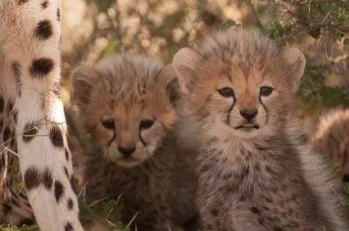 Cheetah cubs print