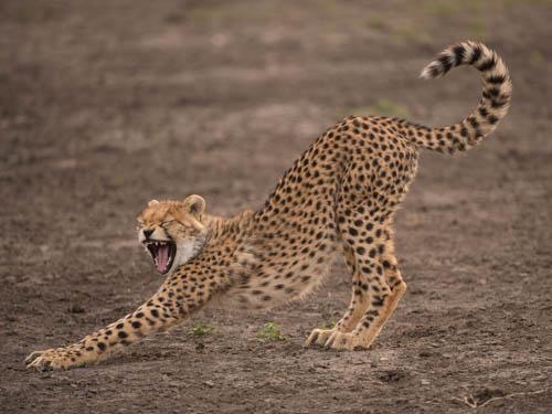 Cheetah Born Free print
