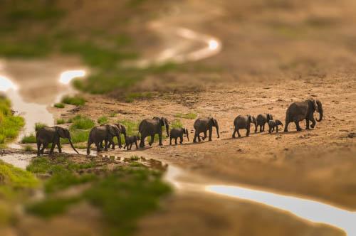 Elephant herd river
