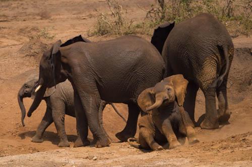 elephants limited edition print