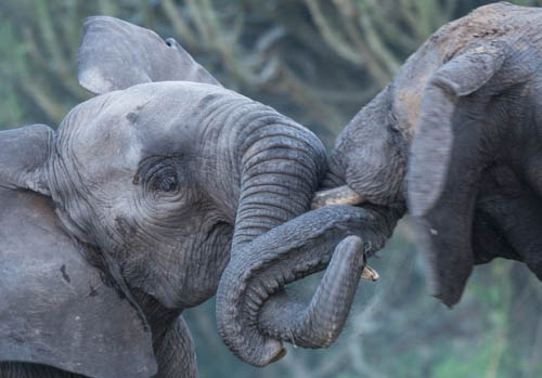 elephants play flighting