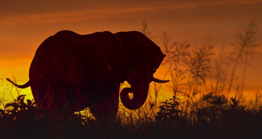 Virgina McKenna elephant print