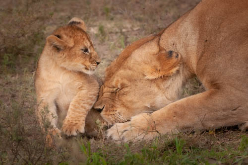 lion print Born Free