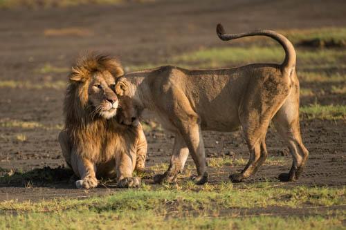 Lion artwork Born Free