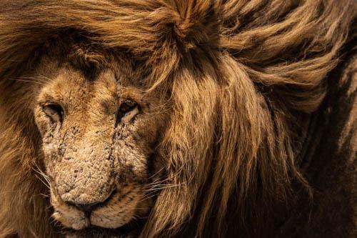Lion's mane artwork