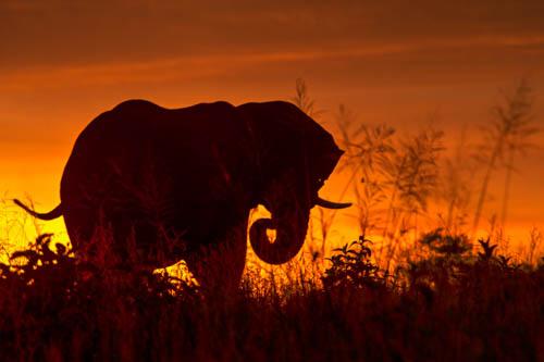 Bull elephant print