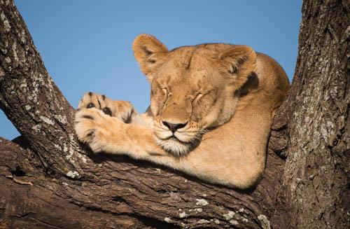 Sleeping lion print