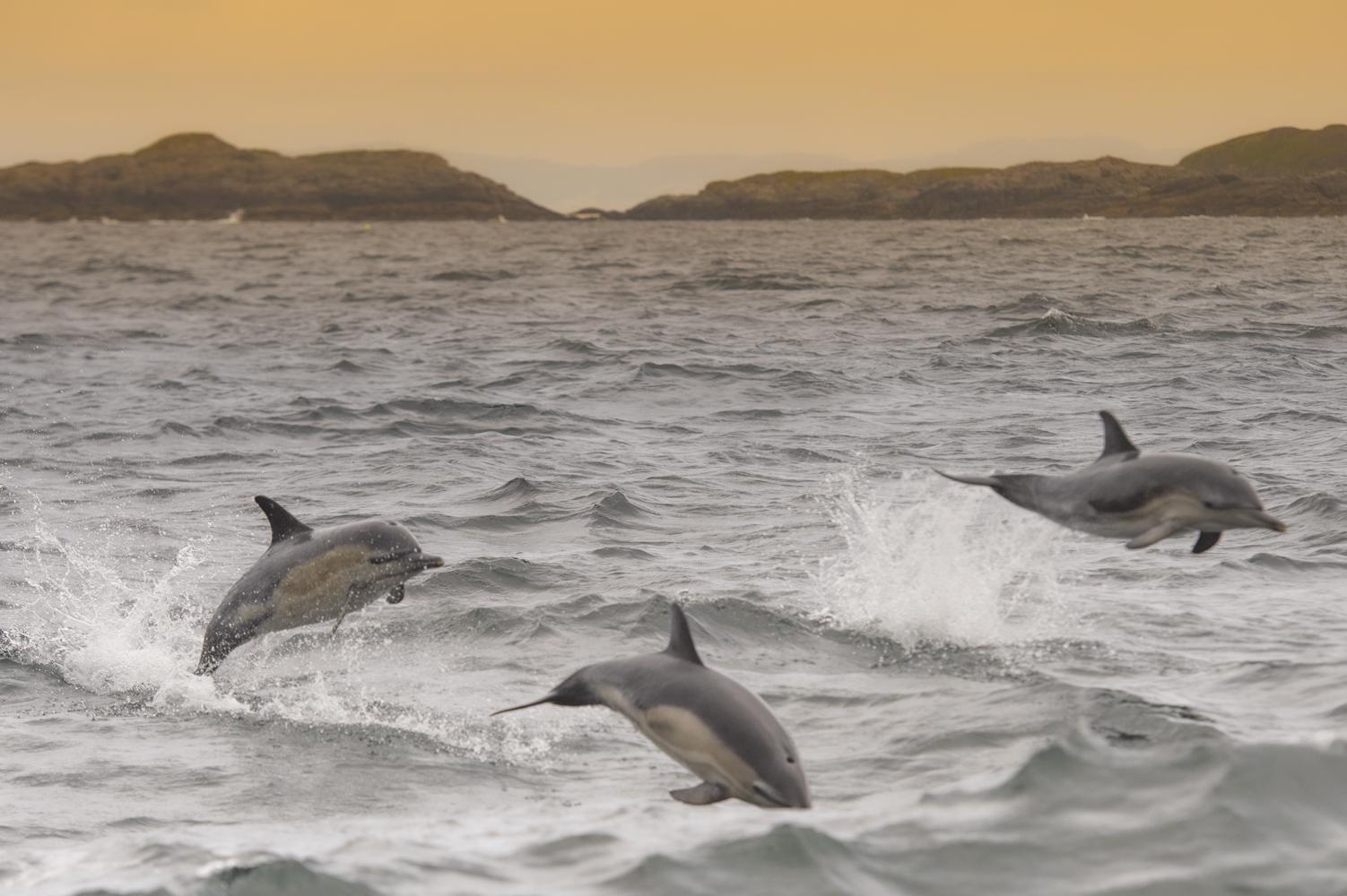 dolphins Coll island Scotland
