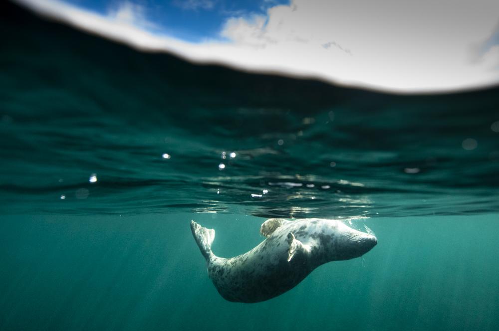 Common seal underwater