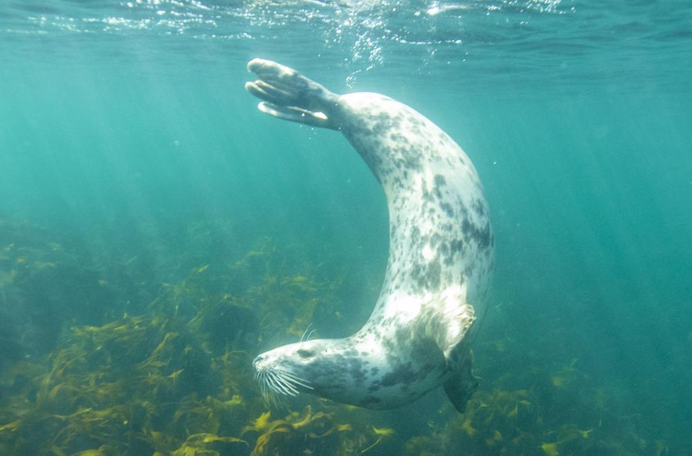 Harbour Seal underwater
