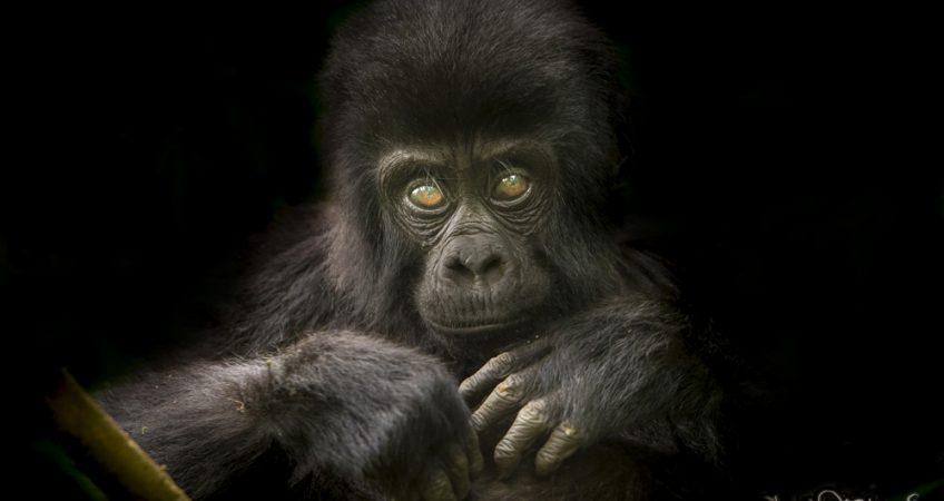 Attenborough gorilla print