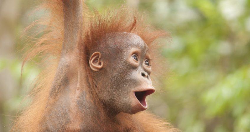 Baby orangutan photos Borneo