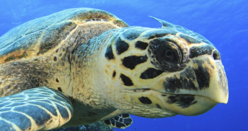 difference between Hawksbill and Green turtles