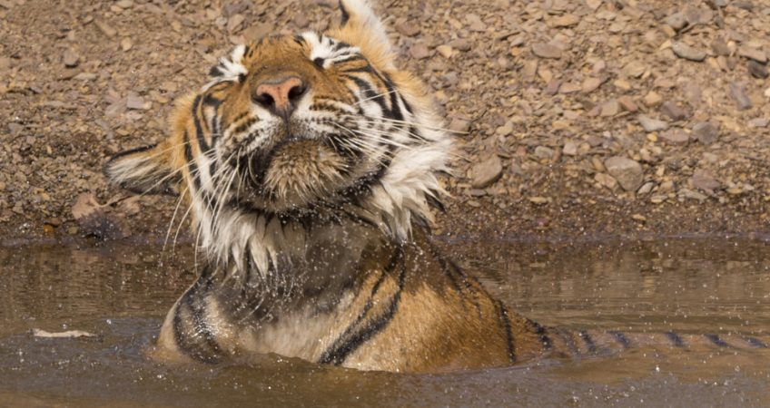 India tiger photography