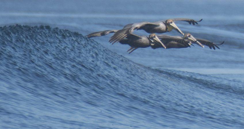 Nicaragua Pelicans birds