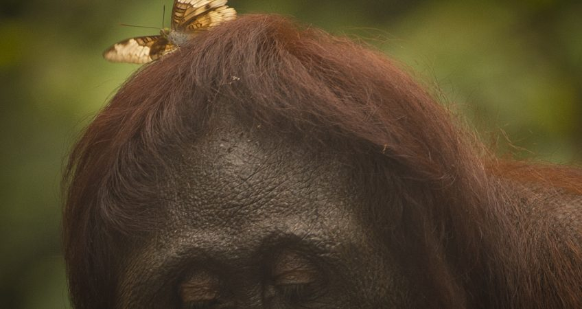 orangutan with butterfly
