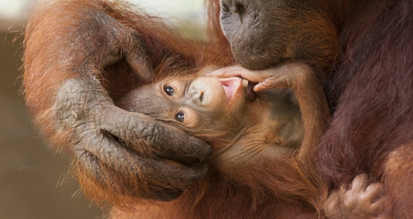 Borneo orangutan wildlife photography holiday