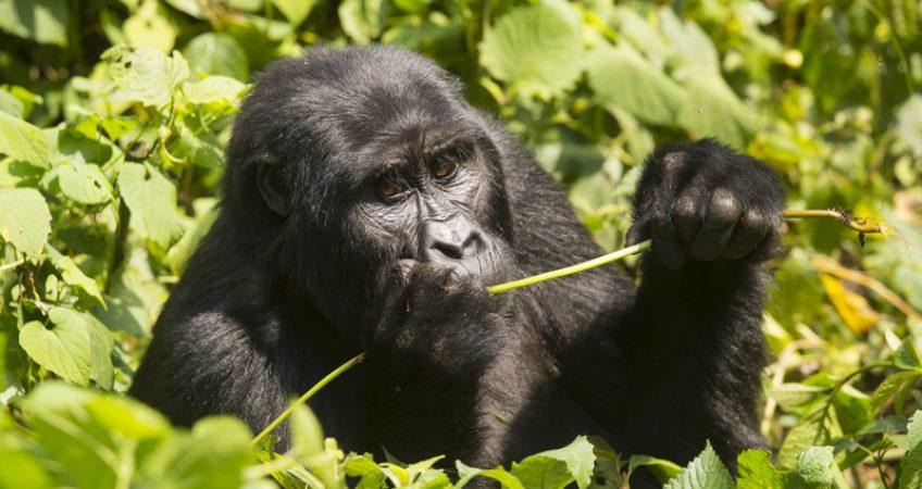 Mountain gorilla Mubare group